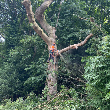 Pollarding a large tree in Camelon by the NTCP qualified tree surgeon.