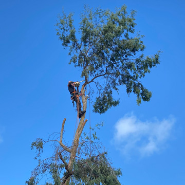 Reduction of a eucalyptus tree in Falkirk by NTCP qualified tree surgeon.