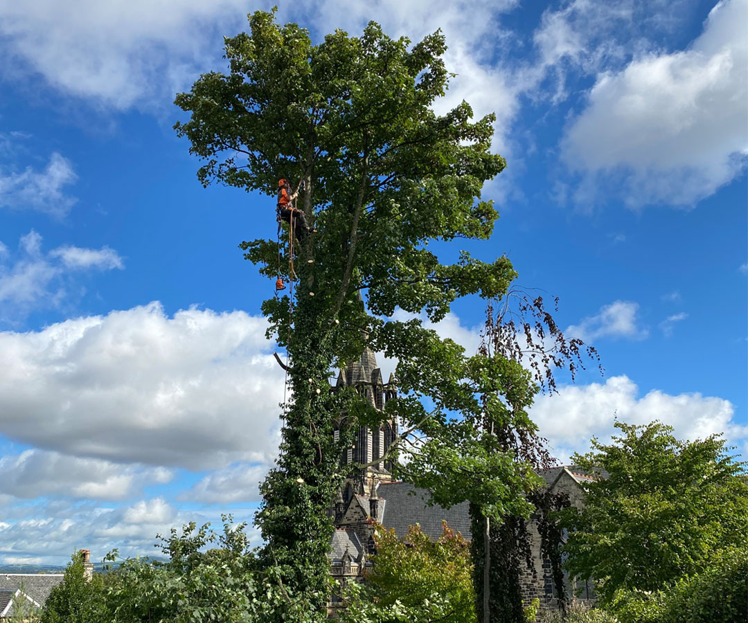 SLJ Contracts provide fully insured and NTCP qualified tree surgeon to carry out tree surgery work.